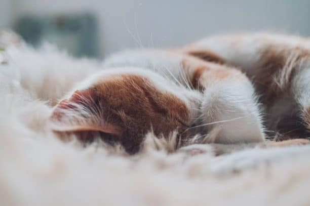 Why Do Cats Hide Their Face When They Sleep?