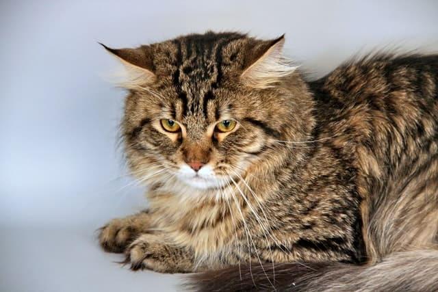 hypoallergenic siberian cat